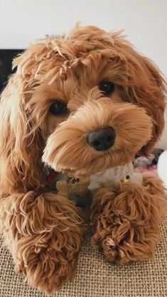Cute Baby Dogs, Cute Little Puppies, Cute Dogs And Puppies, Cute Baby Animals, Doggies, Maltipoo Dog, Mini Goldendoodle, Cavapoo, Labradoodles