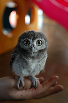 Little Owl ; Athene noctua.