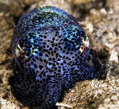 Bobtail Squid by Murphy Laurence