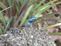 Our resident lizard.