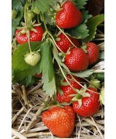 Early Season Strawberry Plants, Christine Variety, 12 Plants