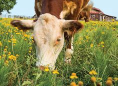 Why Grass-Fed Beef is Healthier and Costs More - Consumer Reports