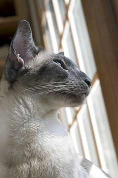 Blue point Siamese. Looks like PhiChin the love of my life.  Rest in Peace fair one.
