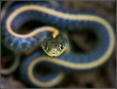 Diablo Range Garter Snake (Thamnophis atratus zaxanthus) by Mike Spinak / Naturography