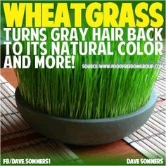 "Wheatgrass: The buzz is, ""WHEATGRASS GETS RID OF GRAY HAIR - Daily consumption of wheatgrass turns gray hair back to its natural color and more, for total body health. Wheatgrass is made up of an impressive array of nutrients that reinforce and rejuvenate everything from our cells and tissues to our organs and bodily systems. In addition to its 70% chlorophyll makeup, wheatgrass contains 17 essential amino acids, 90 minerals, 13 vitamins and 80 enzymes...."""