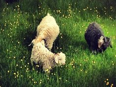 Fieldstars Angora goats in Charlevoix Go see Mohair Plus Page on Facebook!