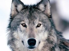 loup-animaux-sauvages