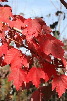 Plant Catalog - ACER R OCTOBER GLORY