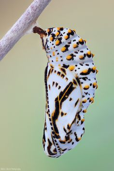 A lagarta sai de um casulo como este. Seja nosso franqueado em qualquer região do Brasil e exterior. www.dedetizadoratserv.com.br