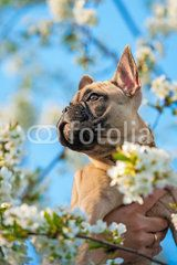 Portrait of french bulldog puppy in flowers