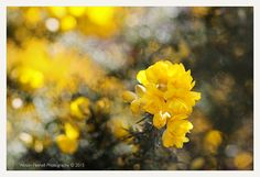 Spring Gorse Flowers. by Alyson Fennell on 500px