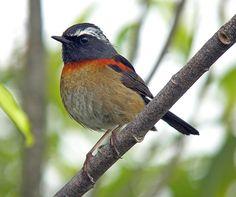 Collared Bush-Robin, Taiwan (Old world fly-catcher)