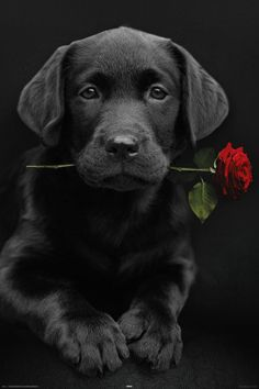 black lab pup with red rose