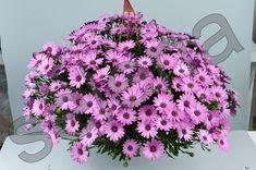 Остеоспермум Osticade Lavender
