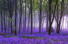 Bluebells - nostalgia for England in that 2 week period when THIS happens. Amazing.