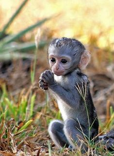 Just 16 Cute Monkey Babies That Will Make You Aww - I Can Has Cheezburger? Just 16 Cute Monkey Babies That Will Make You Aww - World's largest collection of cat memes and other animals Cute Baby Monkey, Cute Baby Animals, Animals And Pets, Funny Animals, Baby Wild Animals, Tiny Monkey, Pet Monkey, Farm Animals, Tier Fotos