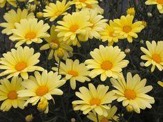 Marguerite Daisy - For more info: http://www.gardeningknowhow.com/ornamental/flowers/marguerite-daisies/marguerite-daisy-flowers.htm