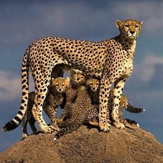 Fierce mom. #cheetah #Biodiversity #Preservation #elephant #rhino #cecilthelion #Lions #Africa #extinction #education #sustainability #Conservation Re-post by Hold With Hope
