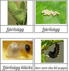 Material om fjärilens livscykel.Materialet innehåller 13 färgbilder på olika stadier i en fjärils liv, 4 fakta kort och fyra målarbilder på fjärilens livscykel och en poster.Vill du ha materialet så…