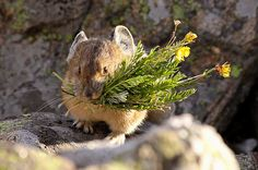 Pikas will watch the kid while you go out tonight. Oh, and here are some lovely flowers. | Pikas Will Bring You Flowers