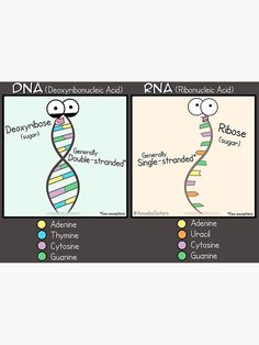 """""""DNA vs RNA Poster"""" Poster by amoebasisters Biology Lessons, Teaching Biology, Science Biology, Nursing Student Tips, Nursing School Notes, Life Hacks For School, School Study Tips, Science Projects For Preschoolers, Basic Anatomy And Physiology"""