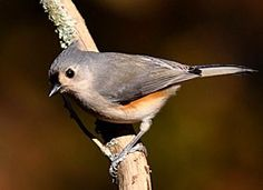 Search Results | All About Birds  tufted titmouse