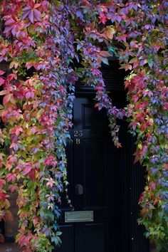 London, England: Beautiful fall vine protecting the entry to this row house.  (photo by Carol Estes)