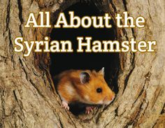 Syrian Hamster Guide - Detailed Info + Care & Feeding
