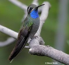 Blue-Throated Hummingbird along the section of South Fork Cave Creek Road that spans the creek. It's one of the largest hummingbird species in the United States and fairly common in southeast Arizona's sycamore canyons.