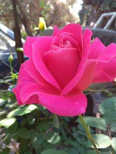 Rose, Flowers, Plants, Pink, Florals, Roses, Planters, Flower, Blossoms