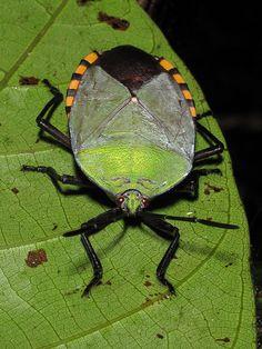 pycanum rubens (adult), night trail, gunung mulu national park, sarawak, malaysia 2 | by Alan Cressler