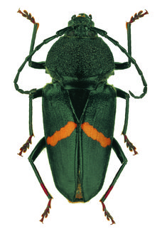 Longhorn Beetle, Golf Bags, Bugs, Club, Beetles, Animales, Insects