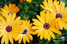 Osteospermum African Daisy, Lemon Symphony (they go dormant in heat spells)