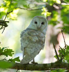BARN OWL, by Trevor Hannant  | Flickr    <3