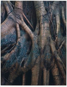 Eliot Porter - Strangler Fig Roots, Everglades National Park, Florida, Photograhs in color about things in nature. History Of Photography, Artistic Photography, Color Photography, Landscape Photography, Wildlife Photography, Fairfield Porter, Alfred Stieglitz, Ansel Adams, Santa Fe