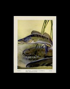 Matted 1949 Vintage Fish Print Murray Cod Book Plate Lake House Decor Wall Art Lodge Gift Ilration Wildlife By Vint