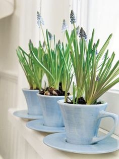 Winter Flowers: 3 Smart Ideas for Forcing Bulbs Windowsill Spring flowers growing in cups , Winter Flowers, Spring Flowers, Winter Plants, Winter Garden, Spring Colors, Fresh Flowers, Indoor Garden, Indoor Plants, Herb Garden
