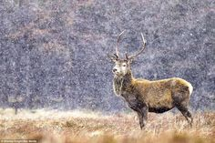 Majestic:Picture by Shelley Knight shows a deer in a snow storm in the…