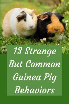 Every guinea pig needs to go through the taming process, as rodents are some of the timidest animals out there. Learn how to successfully tame your guinea pig with our simple guide. Diy Guinea Pig Toys, Diy Guinea Pig Cage, Guinea Pig Food, Pet Guinea Pigs, Guinea Pig Care, Guinea Pig Costumes, Guinea Pig House, Guinnea Pig, Pig Facts