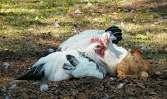 Classic chicken pile. | 21 Chickens Just Doin' Chicken Stuff