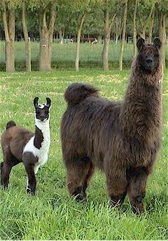 llamas | Llamas!! | Publish with Glogster!