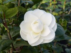 Monrovia's Alba Plena Camellia details and information. Learn more about Monrovia plants and best practices for best possible plant performance. Blossom Garden, Blossom Flower, Amazing Gardens, Beautiful Gardens, Dog Friendly Plants, Monrovia Plants, Plant Catalogs, Garden Shrubs, Garden Beds