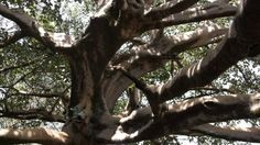The Fig Tree mentioned in mythology - otherwise known as the Tree of Life.
