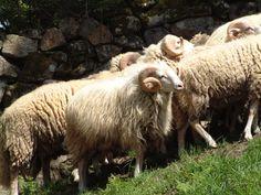 Ovella galega