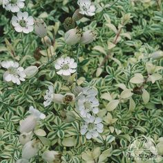 """Silene uniflora 'Druett's Variegated': Z4, 2-4x8-12"""", sun-part shade, any soil/moisture/PH; light foot traffic, blooms early-late summer, form of rock campion, drapes & cascades or grouncover; drought tolerant; Remove any all-green shoots that might appear or they will take over the clump after a few seasons."""