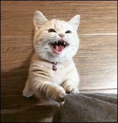 Cute Cat standing up, meowing hard for food. - IVAN KRASNADUBSKI - Google+