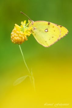 Yellow On Green - Butterfly: The Danube Clouded Yellow (Colias myrmidone) is a butterfly of the family Pieridae on the Perennial Sow-thistle. Plant: Medicago lupulina, commonly known as black medick, nonesuch, or hop clover, is a familiar lawn plant belonging to the legume or clover family.