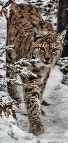 The gorgeous Lynx stroking through his territory, in the Bavarian Forest National Park, Germany.