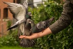 Pigeon, Hand, Person, Feeding, Wings