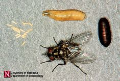 If flies are numerous inside your home, you can use a space spray (aerosol)…